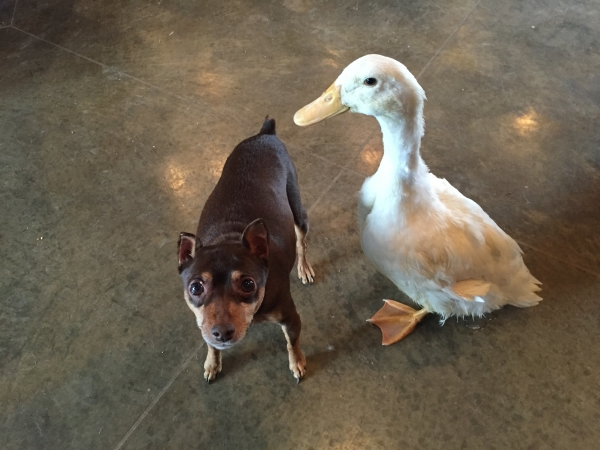 duck-and-dog-adopted 3
