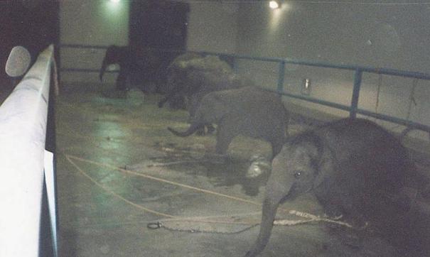 elefante-muere-en-circo2