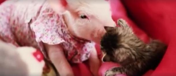 gato-y-cerdita-rescatados1