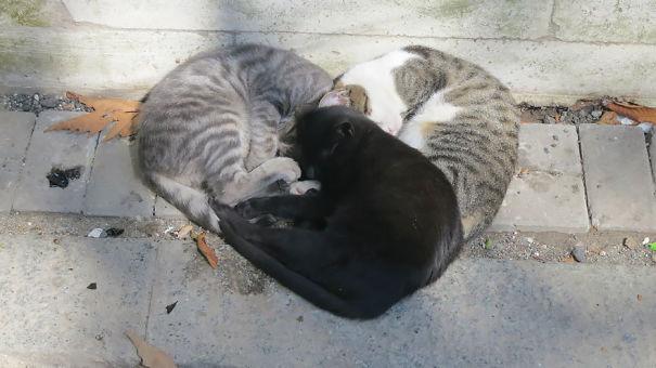 gatos-san-valentin3
