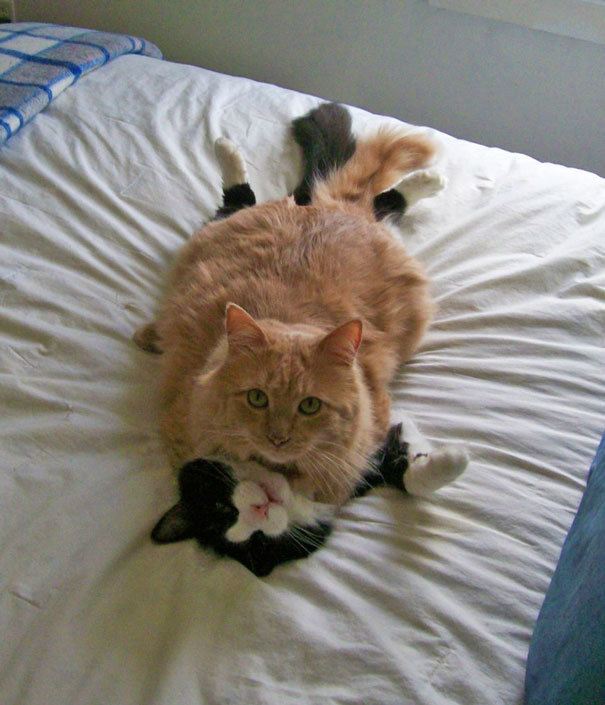 gatos-san-valentin5