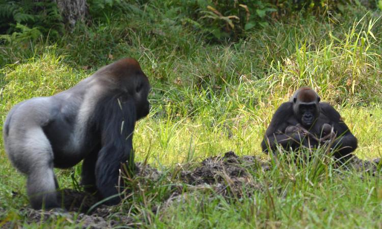 gorila-gemelos