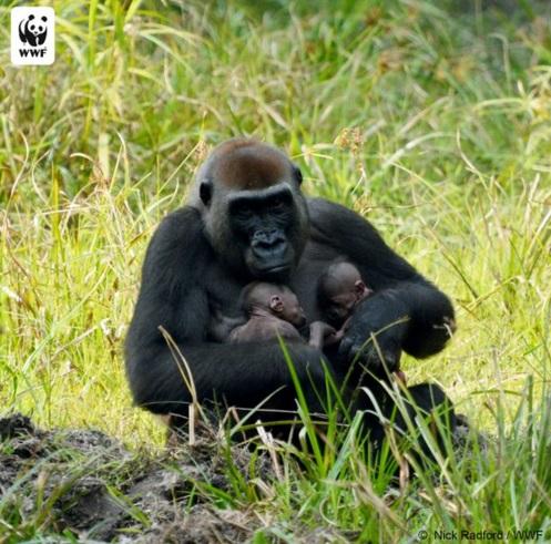 gorilas gemelos 1