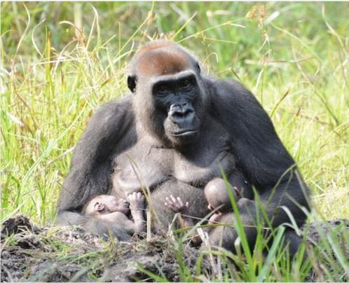 gorilas gemelos 2