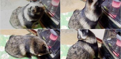 gorro de mapache 2