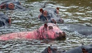 hipopotamo-rosa