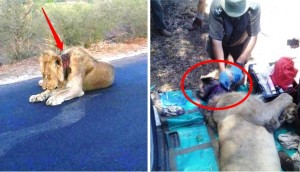 leon-rescatado-herido