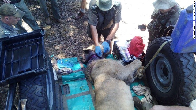 leon-rescatado