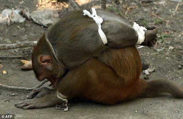 mono-amarrado-india1