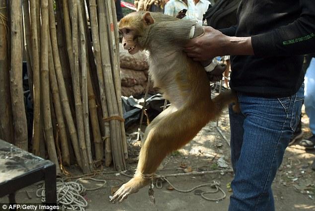 mono-amarrado-india4