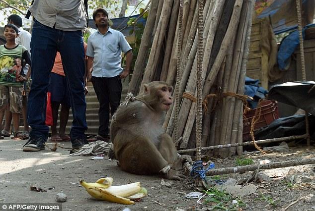mono-amarrado-india6