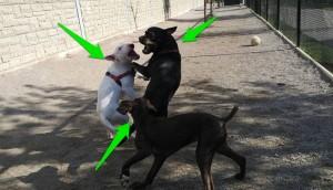 perro muerde a otro perro 10