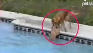 perro salva cachorro piscina id