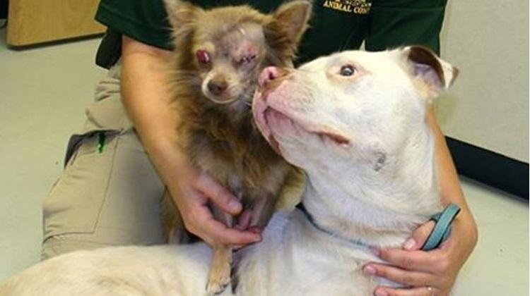 pit bull salva chihuahua 1