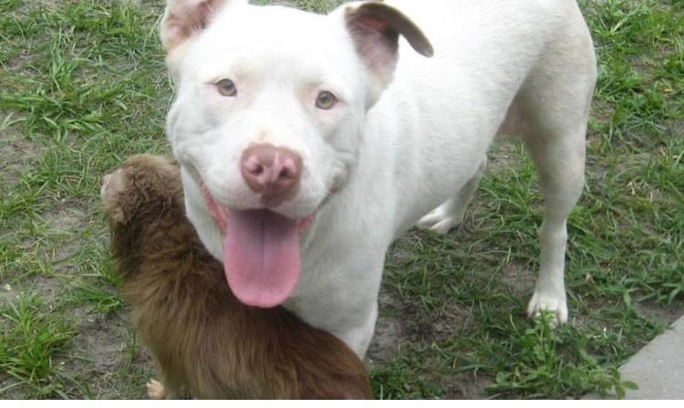 pit bull salva chihuahua 2