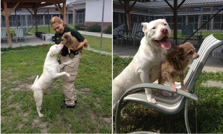 pit bull salva chihuahua 4