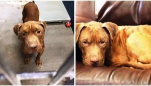 pitbull-rescatado-peleas-perros