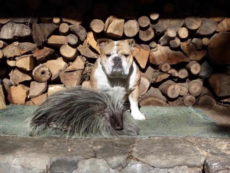 puercoespin-bulldogs 5