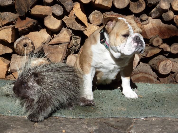 puercoespin-bulldogs 8