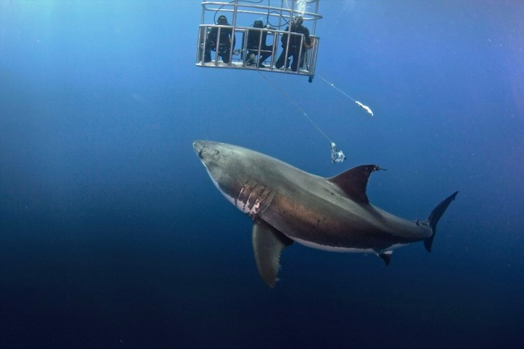 tiburon toca 5