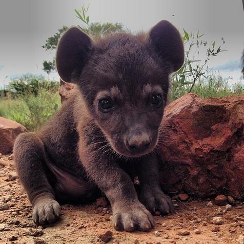 animal-bebe-hiena