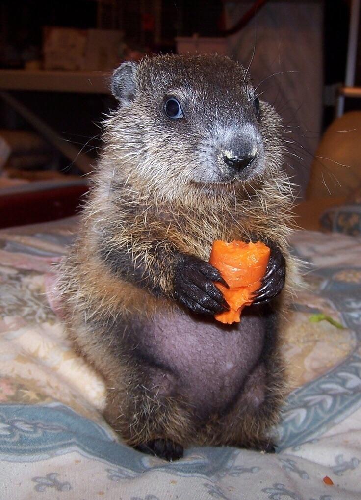 animal-bebe-marmota