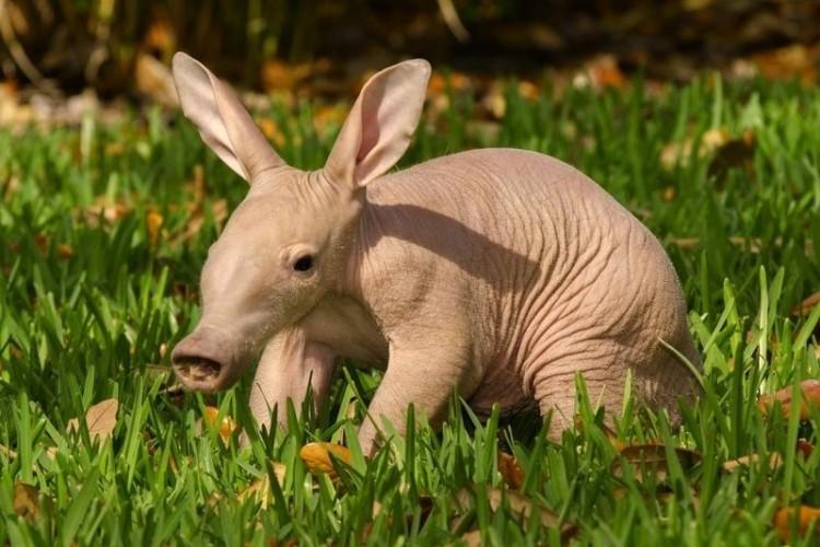 animal-bebe-cerdo-hormiguero