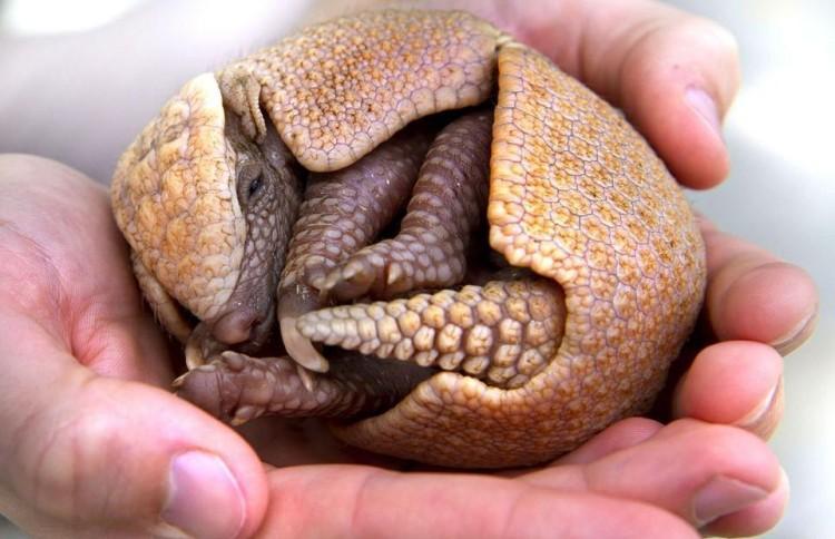 animal-bebe-armadillo