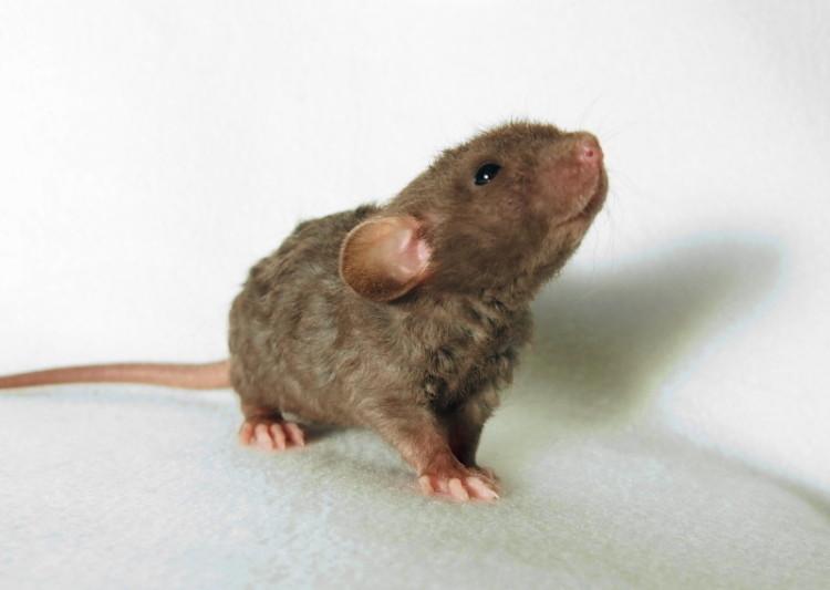 animal-bebe-rata