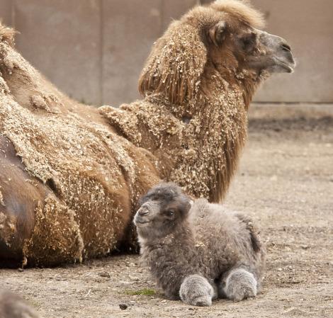 animal-bebe-camello