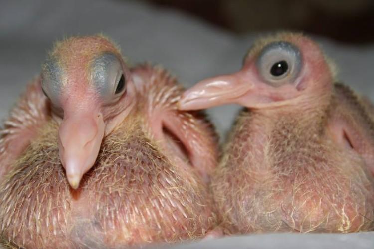 animal-bebe-pichon