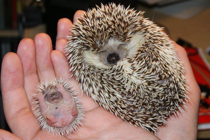 animal-bebe-erizo