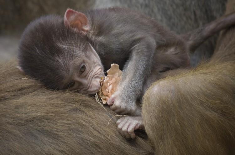 animal-bebe-babuino