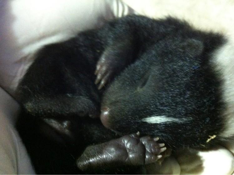 animal-bebe-zorrillo