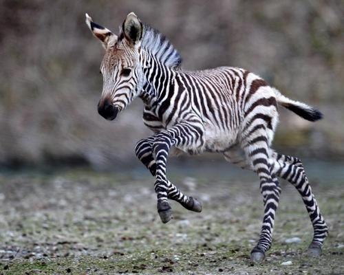 animal-bebe-zebra