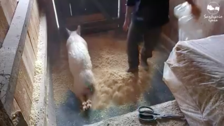 3cerdita-feliz-cama-limpia