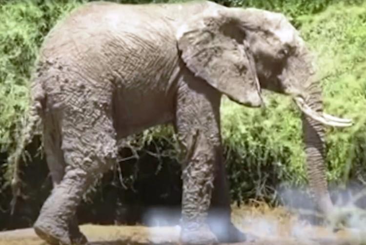 Elefante atrapado 4