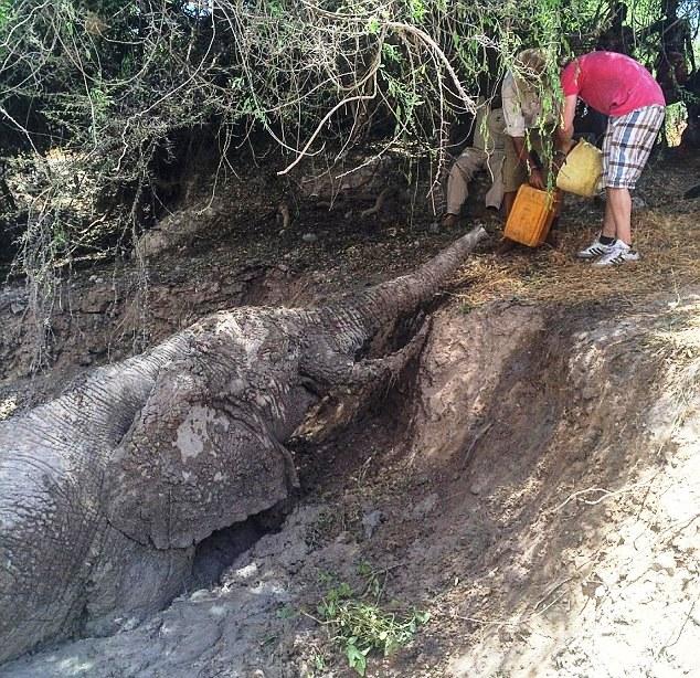 Elefante atrapado 8