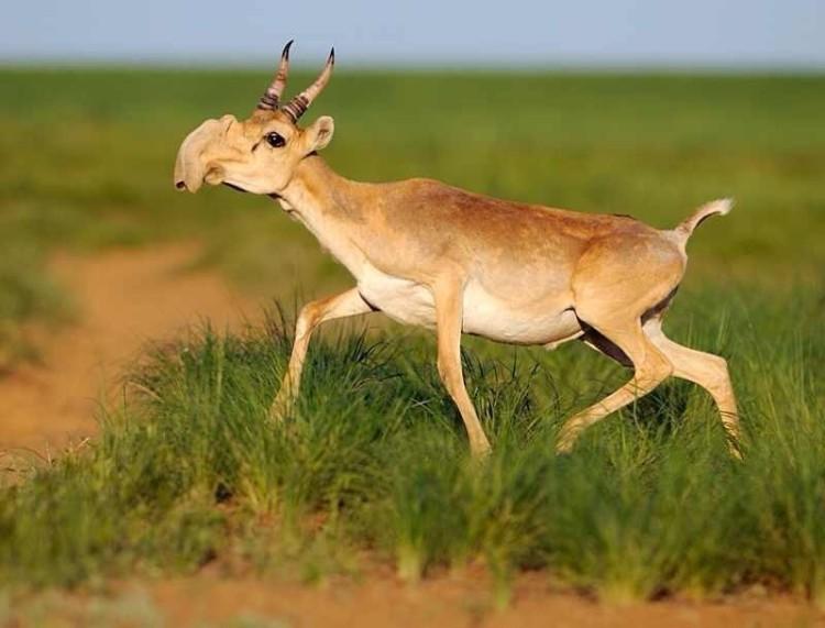 animales-asombrosos-antilope-saiga
