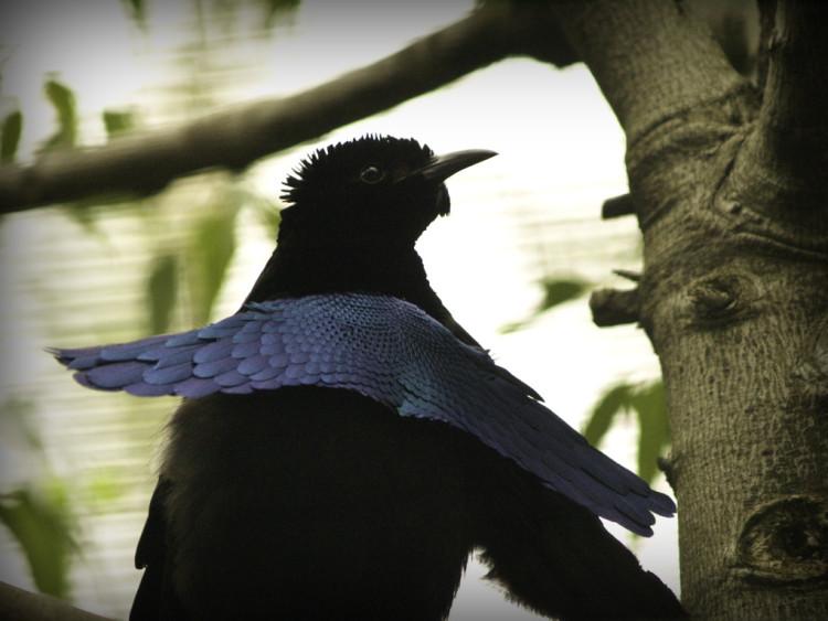 animales-asombrosos-ave-soberbia