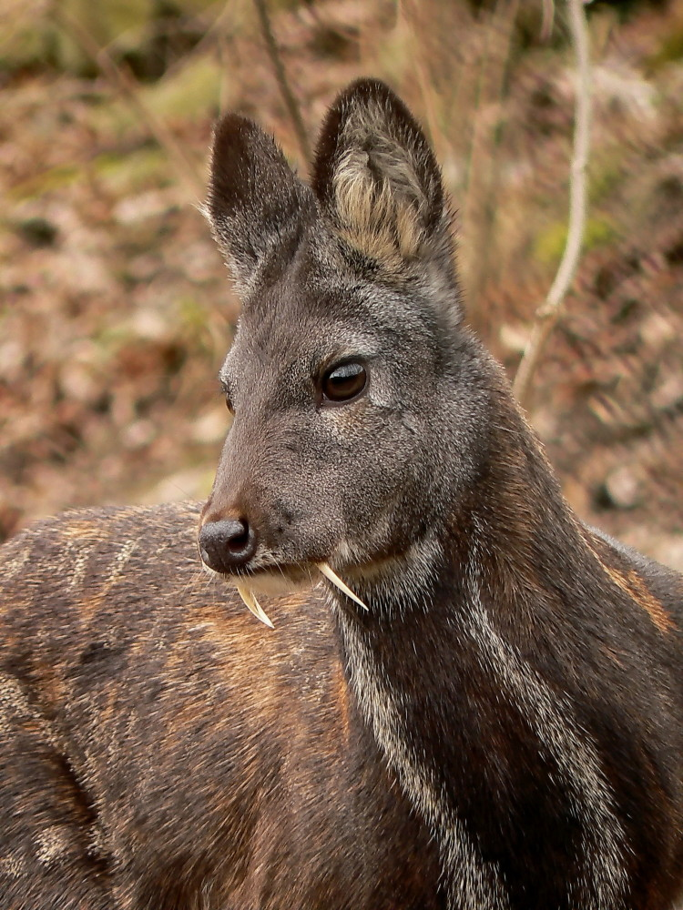 animales-asombrosos-ciervo-vampiro