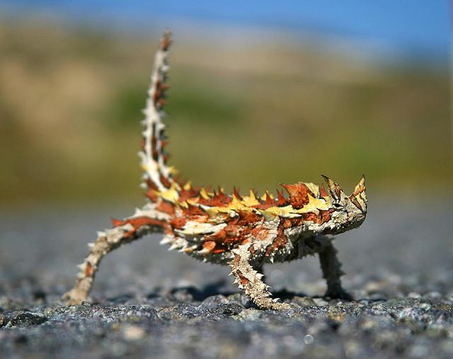 animales-asombrosos-diablo-espinoso