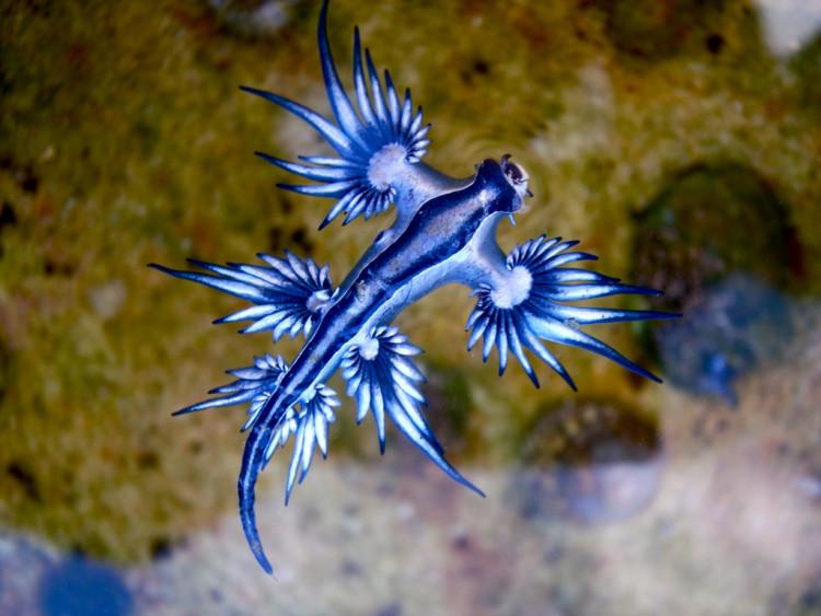 animales-asombrosos-glaucus