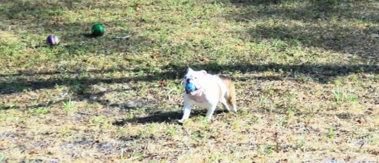 bulldog 13