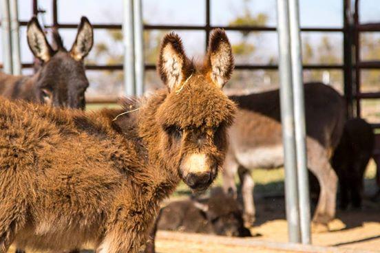 burros-rescatados7