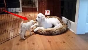 cachorro y cabra id