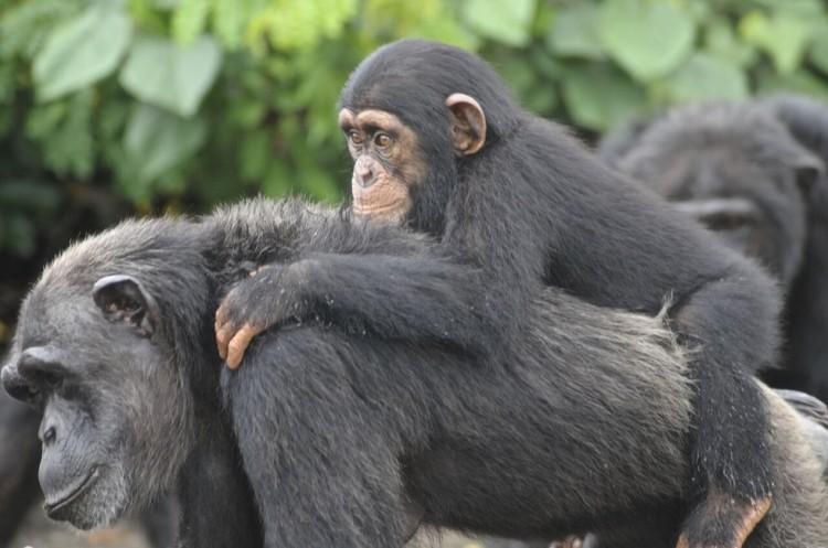 chimpancé bebe agua 1