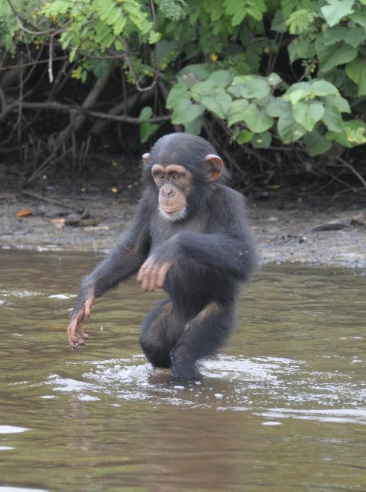 chimpancé bebe agua 2