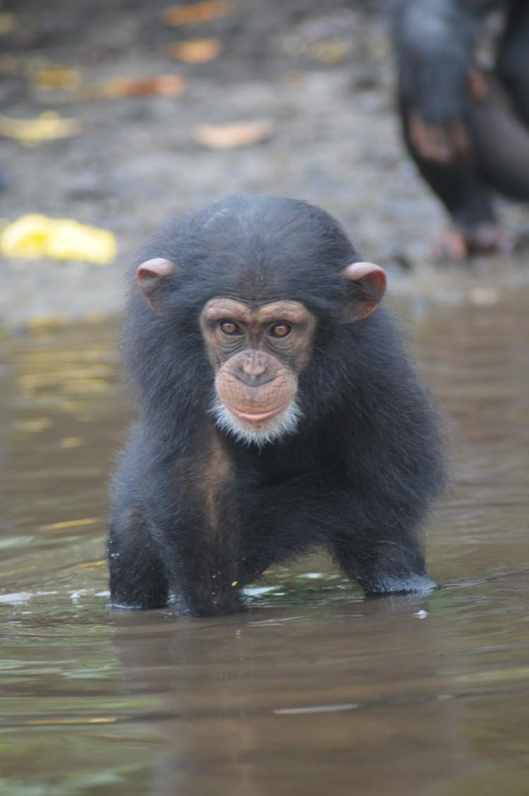 chimpancé bebe agua 3