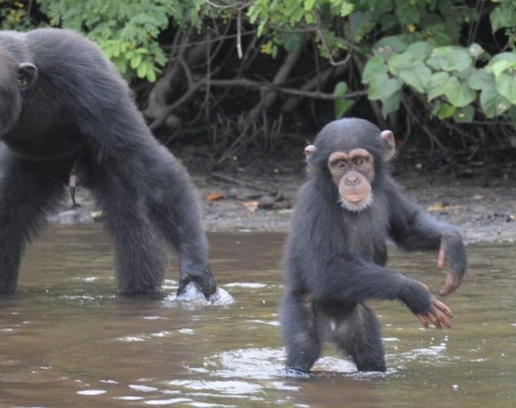 chimpancé bebe agua 5